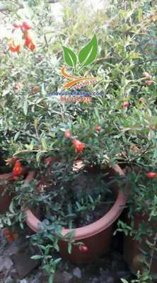 Phát sốt giống Lựu lùn đỏ Ai Cập - Năng suất cao, quả to