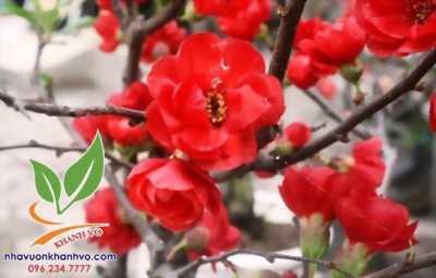 Hoa mai đỏ sắc xuân cho ngày tết thêm xuân