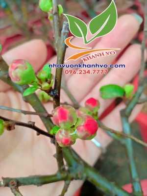 Mai đỏ - Loài cây được săn đón mạnh Tết Kỷ Hợi