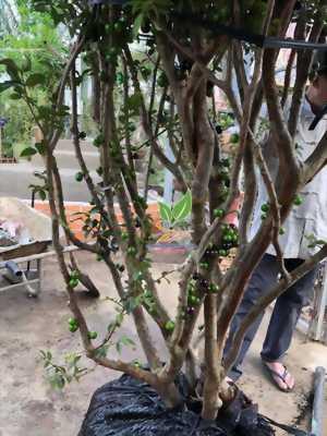 Nho thân gỗ - Cây phong thủy trang trí văn phòng ngày tết Kỷ Hợi