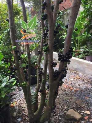 NHO THÂN GỖ - Sự thật về giống cây ĐẸP - ĐỘC được săn lùng