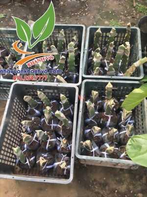 Thanh long vàng Malaysia trồng chậu cực đẹp