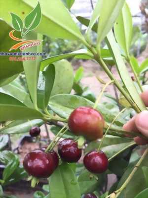 Cherry Brazil đang mùa hoa - trái cực nhiều