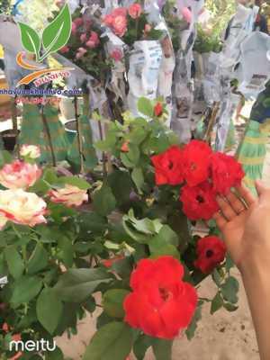 Hồng thân gỗ - Hồng ngoại đang ra hoa xinh xắn tại Tphcm