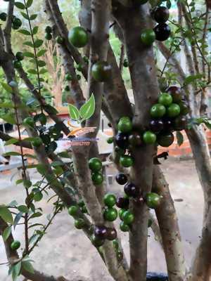 Ngỡ ngàng lần đầu thấy cây nho thân gỗ Brazil trái chi chít