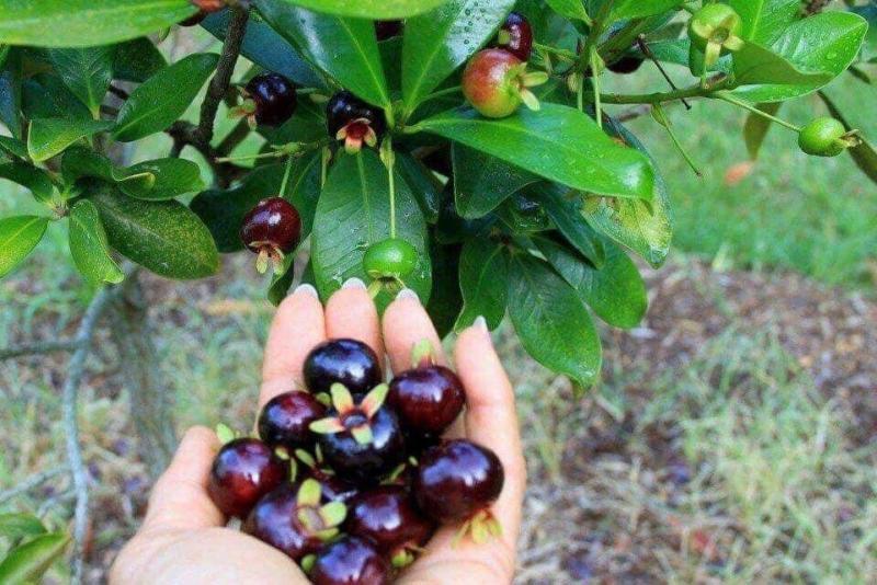 Lợi ích của trái cherry Brazil tốt cho sức khỏe
