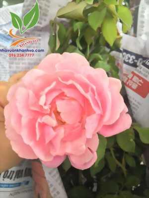 Cây hoa hồng cổ - tree rose - cực sai hoa - đẹp nghệ thuật