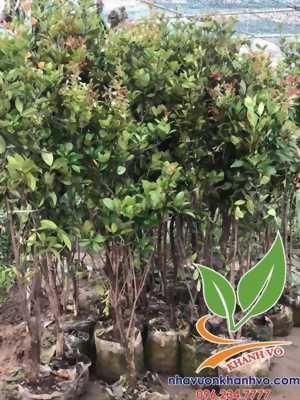 Cây cherry Brazil trồng chậu dễ trồng tại nhà