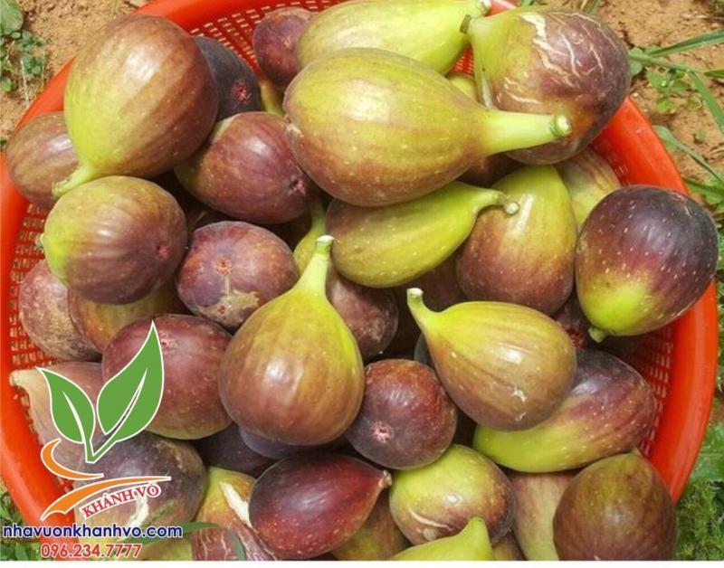 Sung mỹ - Cây ăn quả độc đáo có giá trị dinh dưỡng cao