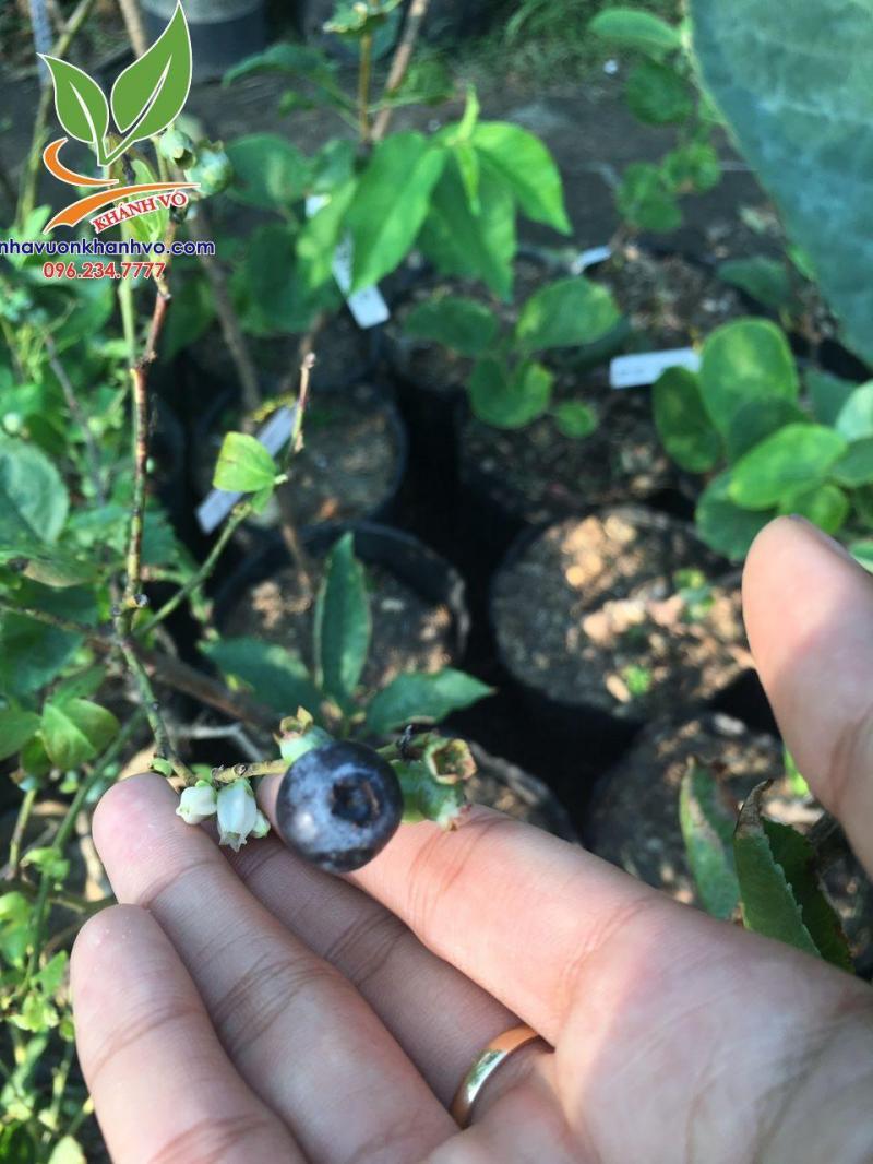 Trồng việt quất tại nhà đơn giản cây cho quả chi chít