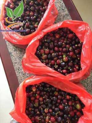 Cherry Brazil - Loại trái cây được ưa chuộng số 1 thế giới