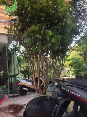 Nên trồng cây nho thân gỗ Nam Mỹ độc lạ