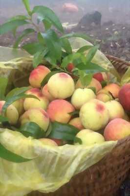 Cung cấp cây giống đào tiên Nhật Bản - giống ăn quả chịu nhiệt