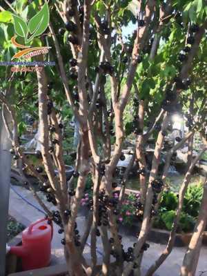 Cây nho thân gỗ – Cây cho quả có nhiều dinh dưỡng bậc nhất