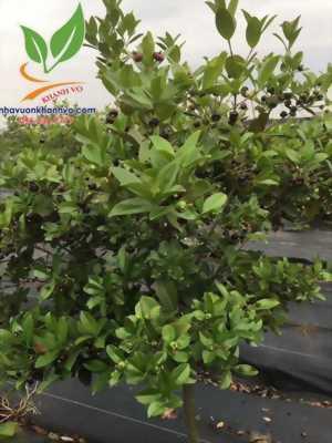Cherry Brazil loaị cây thích hợp trồng nhiệt đới