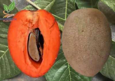 Hồng xiêm ruột đỏ trái khổng lồ giàu chất dinh dưỡng