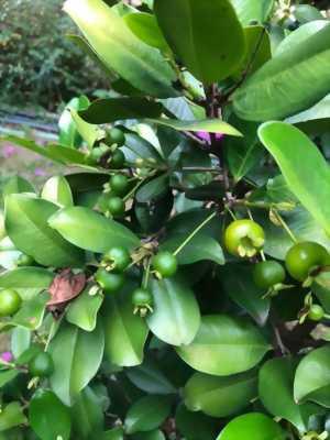 Cherry Brazil cây thích hợp trồng tại Việt Nam
