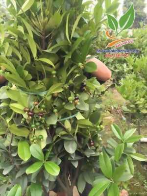 Trồng cherry tại nhà đơn giản lại nhiều quả - ra quả cả năm