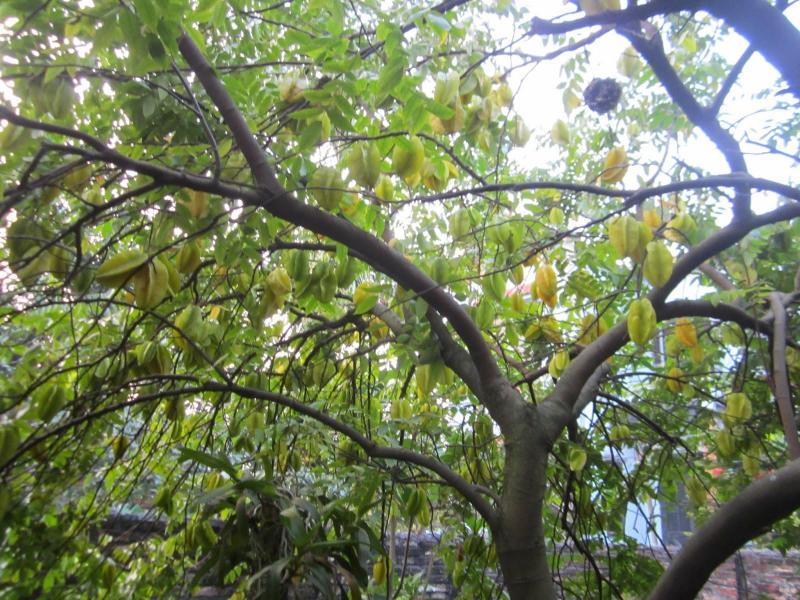 Cây khế tự ngoài vườn tự nhiên hơn 60cm hoành
