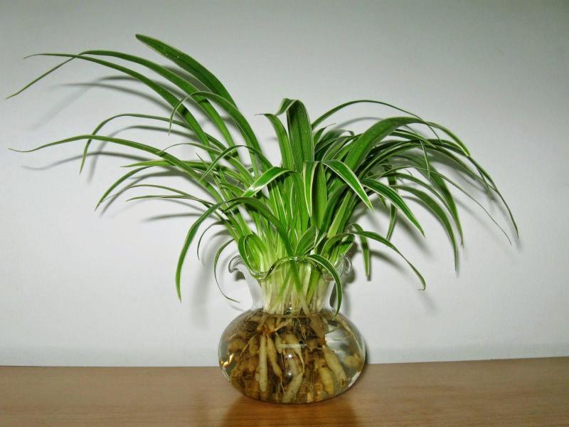 Bán cây thảo lan chi