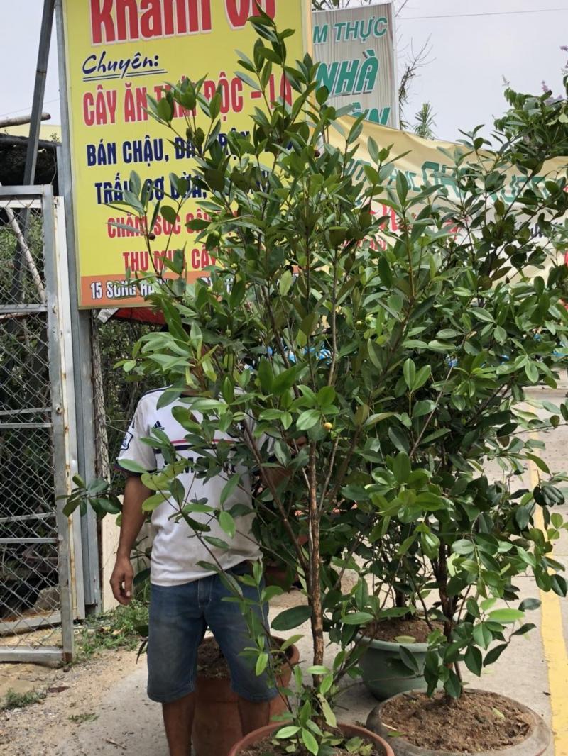 Cây cherry Brazil trái lạ, dinh dưỡng cao.