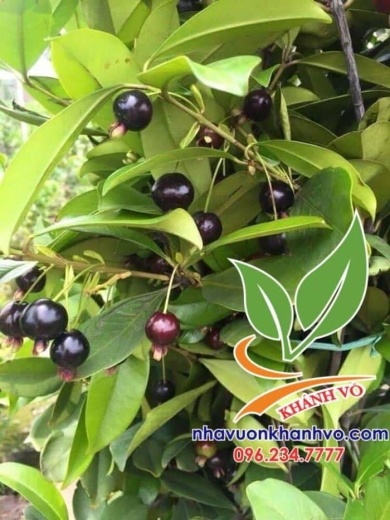 nhà vườn chuyên cung cấp loại cherry nhiệt đới