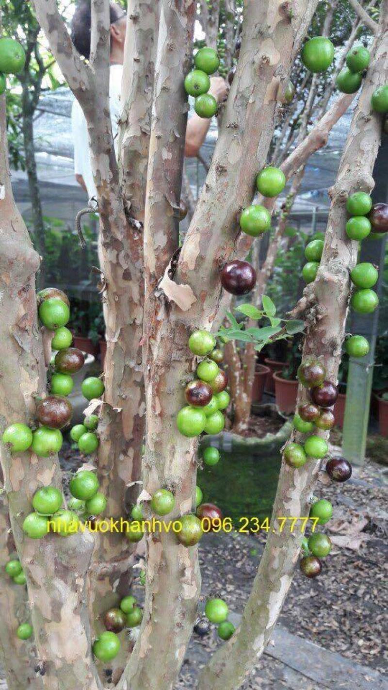 Nho thân gỗ, cây đẹp trái ngon, phù hợp khí hậu việt nam