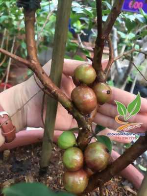 Nho thân gỗ tứ quý, ra trái quanh năm