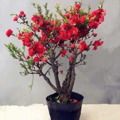 Hoa mai đỏ rực rỡ mùa tết này.