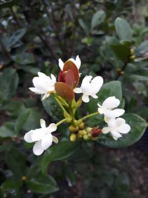 Cherry Brazil, lựa chọn mới cho sân vườn !!