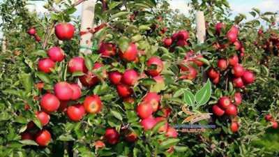 Cây táo lùn ruột đỏ xuất xứ từ Mỹ.