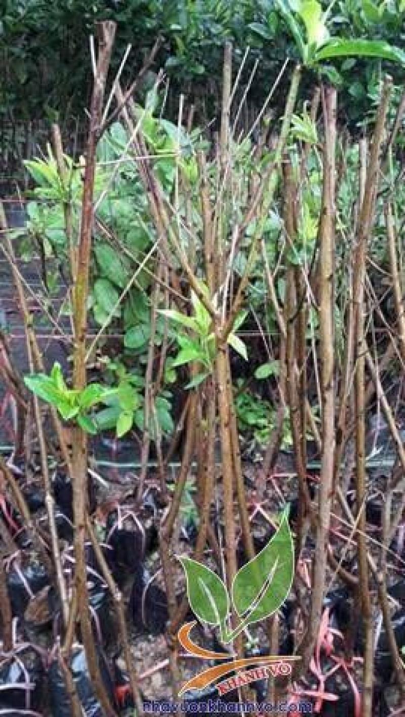 Cung cấp cây giống đào tiên Nhật Bản chịu nhiệt