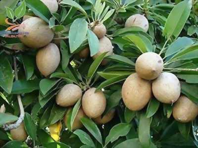 Hồng xiêm xoài - Giống cây mới năng suất cao