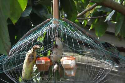 Cần bán chim chào Mào Đà Nẵng