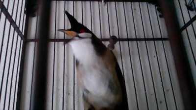 Cần bán chim chào mào mồi