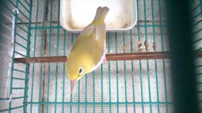 Bán chim vành khuyên dạng người