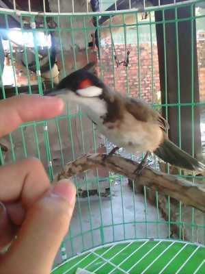 Nghỉ chim bán chào mào bổi hàng bẫy đấu sổ giọng56