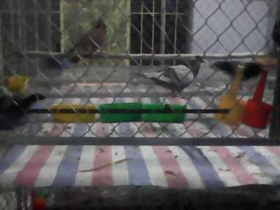 Bán 7 cặp bồ câu kèm theo đồ cho ăn và bồ câu con