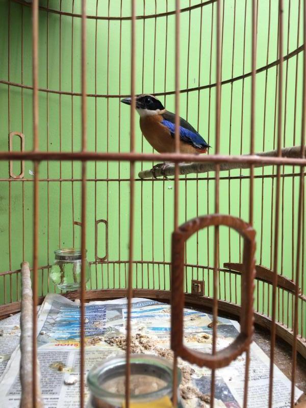 Chim đuôi cụt cánh xanh