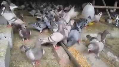Mình có bán chim bồ câu giống Pháp.