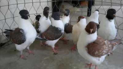 Chim bồ câu banh