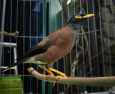 Chim sáo trâu