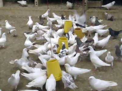 Chim bồ câu Pháp