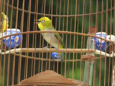 Chim khuyên trống