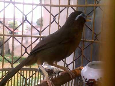 Chim 1 mùa hót không tật lỗi