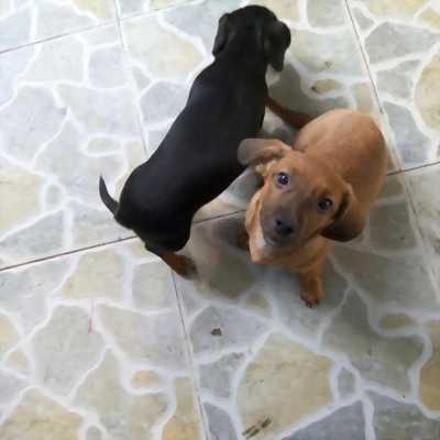 Cần bán chó mẹ lạp xưởng và con lai