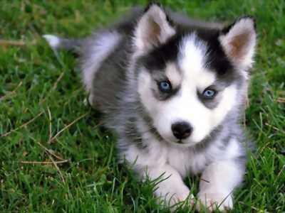Husky đen trắng