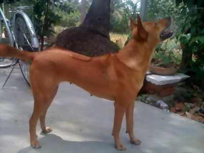 Cần bán chó phú quốc 6 tháng như hình