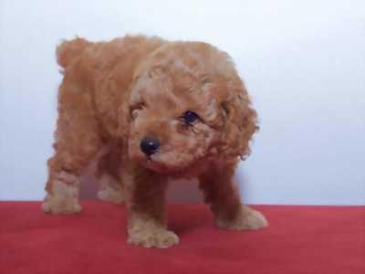 Bán poodle nâu đỏ tiny toy