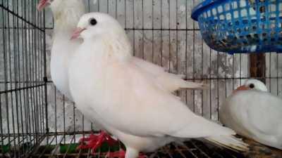 Bán chim bồ câu bố mẹ đang đẻ giống pháp 400k